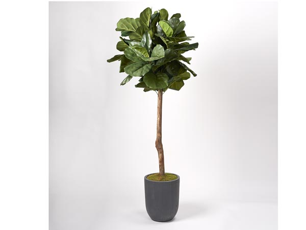 Rent the Fiddle Leaf Fig Tree