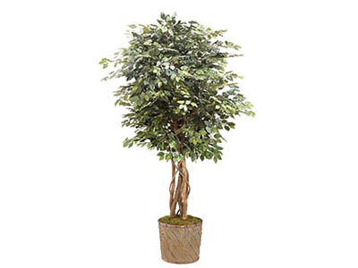 Rent the Ficus Tree