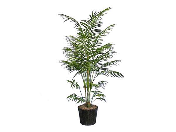 Rent the Areca Plant