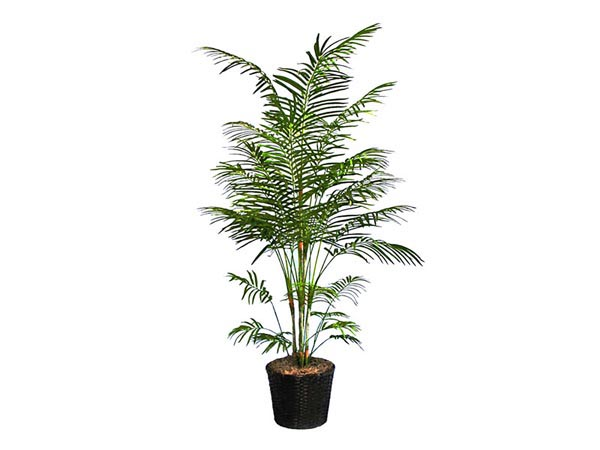Rent the Dwarf Areca Palm Tree