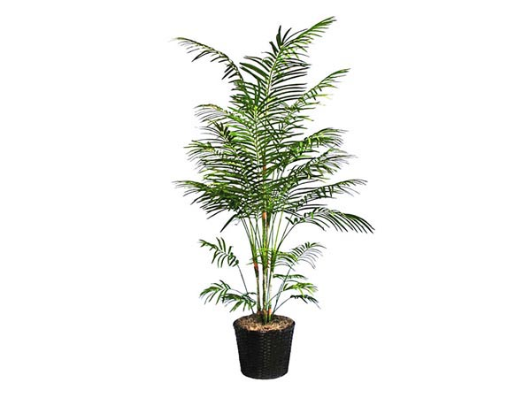 Rent the Bamboo Palm Tree
