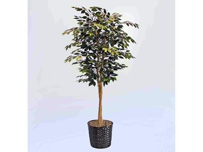Delux Ficus