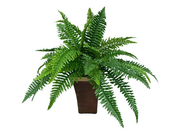 Rent the Green Fern Plant
