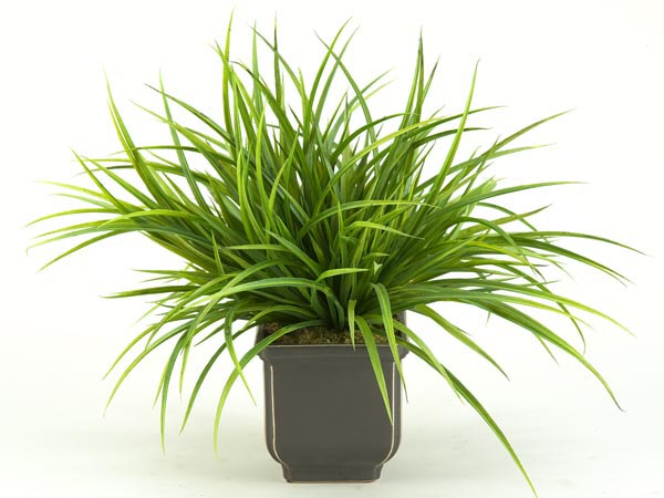 Rent the Green Grasses Plant
