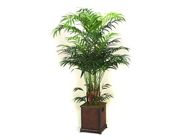 Rent the Kentia Palm Tree