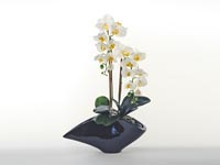 Rent the Cream Orchid
