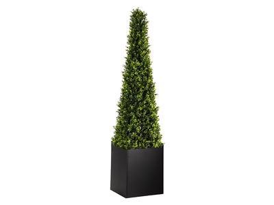 Cone Boxwood