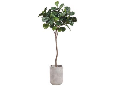 Rent the Fiddle Leaf Tree