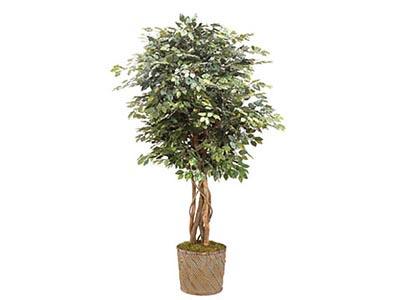 Rent the Ficus Tree