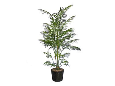 Rent the Areca Plant