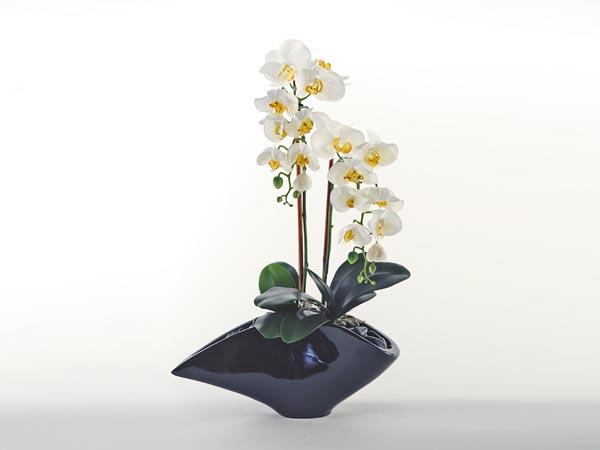 Rent the Cream Orchid