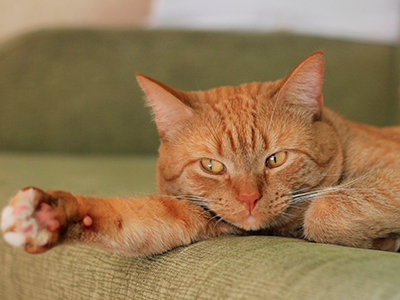 red cat on sofa